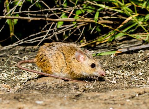 Namaqua rock rat