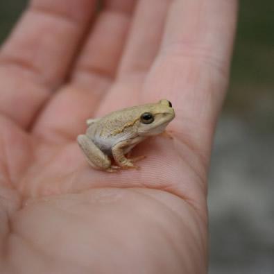 Angolan Reed Frog. Juvenile colouration