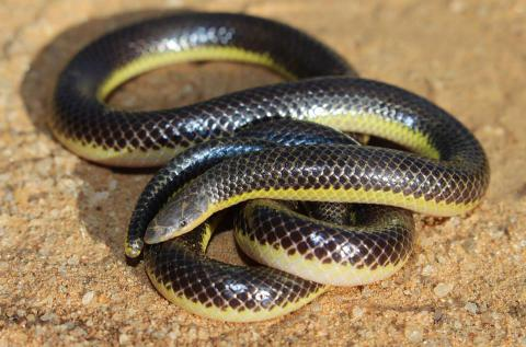 Bicoloured Quill-snouted Snake
