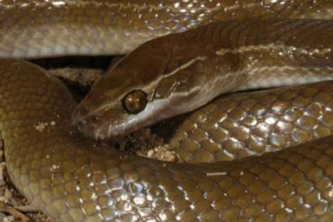 Brown House Snake