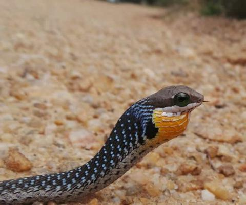 Common Boomslang - Juvenile