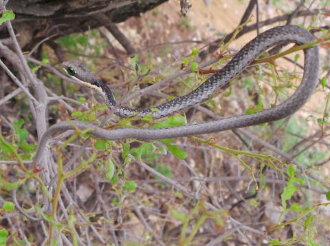 Common Boomslang - Male