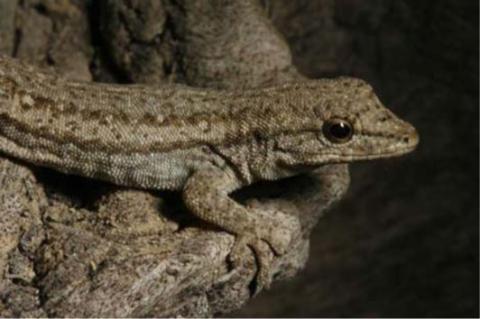 Gecko, Bradfield's Dwarf