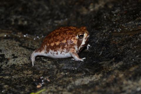 Rain Frog, Bushveld