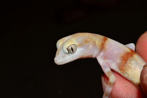 Gecko, Cape Cross Ground