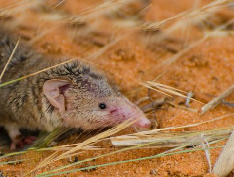 Lesser red musk shrew
