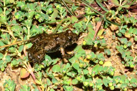 Puddle Frog, Dwarf