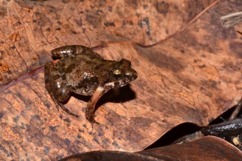 Puddle Frog, Small