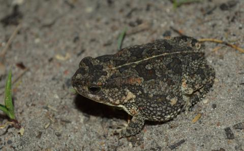 Pygmy Toad, Northern