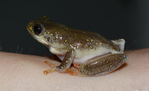 Reed Frog, Painted