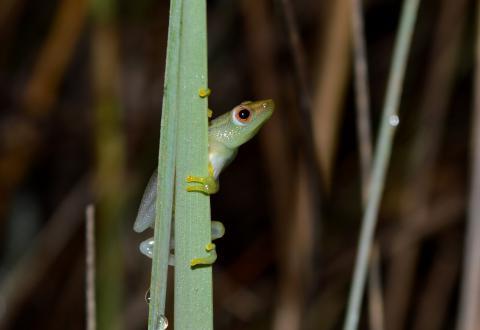 Reed Frog, Long