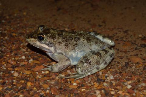 River Frog, Cape