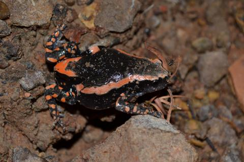Rubber Frog, Banded
