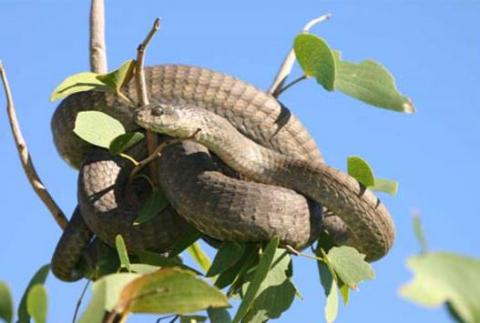 Common Boomslang - Female