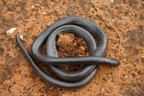 FitzSimons' Garter Snake