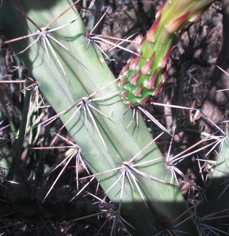 Harrisia pomanensis