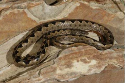 Viperine Rock Snake