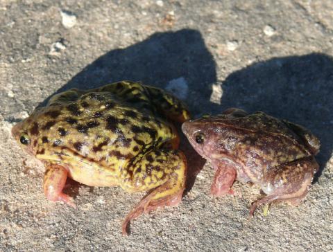 Shovel-nosed Frog, Mottled