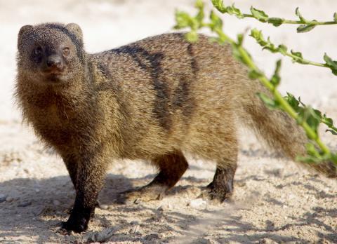 Large grey mongoose