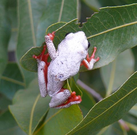 Reed Frog, Angolan