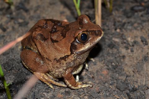 Tree Frog, Bocage's
