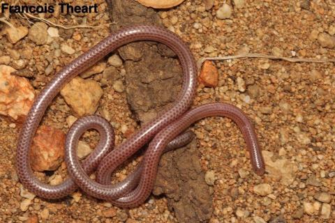 Namibiana occidentalis