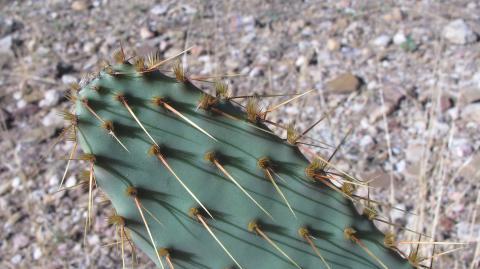 Opuntia engelmannii var. linguiformis