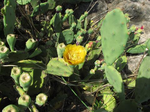 Opuntia stricta - spiny type, from Okavango floodplain
