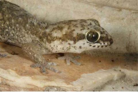 Gecko, Speckled