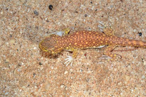 Gecko, Koch's Barking