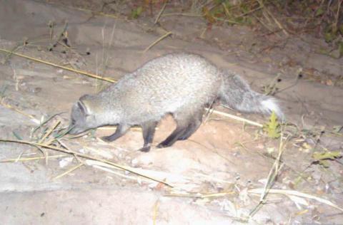 Mongoose, Selous's