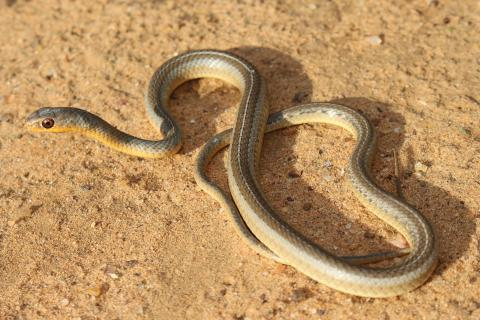 Short-snouted Sand Snake