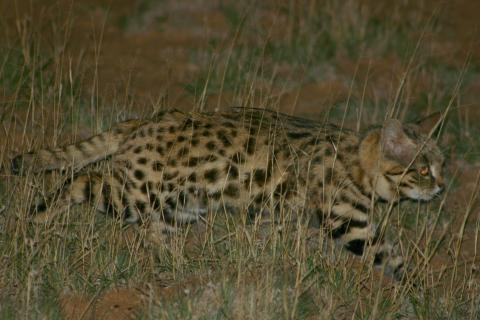 Side view of a black-footed cat