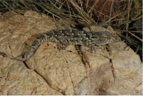 Gecko, Turner's Giant