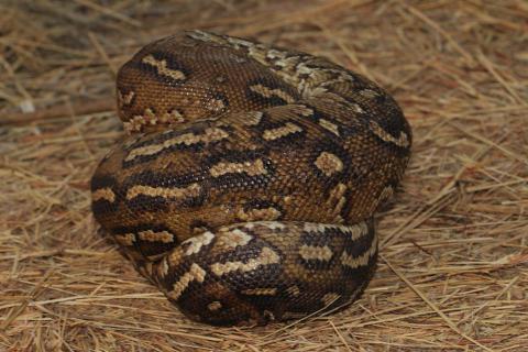 Anchieta's Dwarf Python