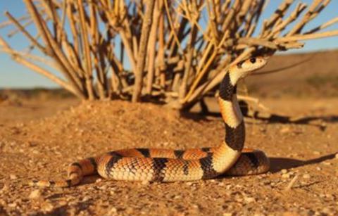 Coral Shield Cobra