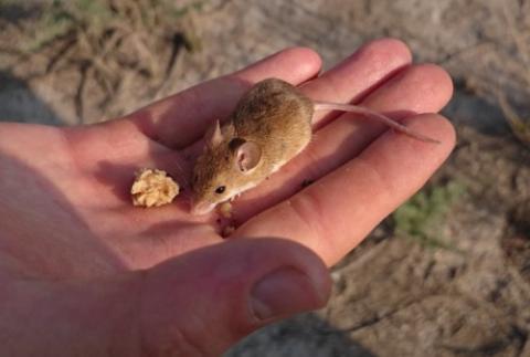 Mouse, Kalahari pygmy