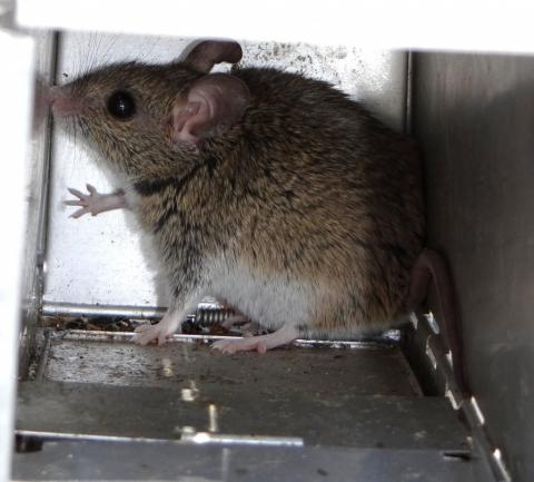 Large-eared Mouse