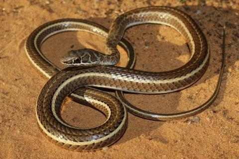 Leopard Sand Snake
