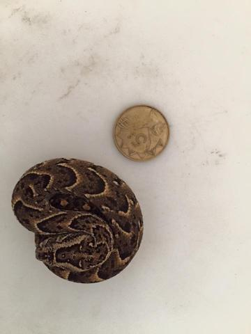 Puff Adder, neonate