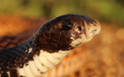 Speckled Shield Cobra