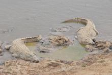 Crocodile, Nile