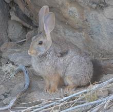 Jameson's red rock rabbit