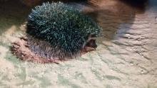 South African hedgehog