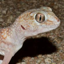 Namib Giant Ground Gecko