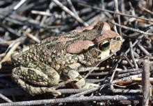 Toad, Raucous