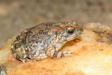 Pygmy Toad, Hoesch's