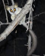 Southern African Bush baby