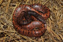Hellmich's Wolf Snake
