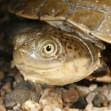 Central Marsh Terrapin